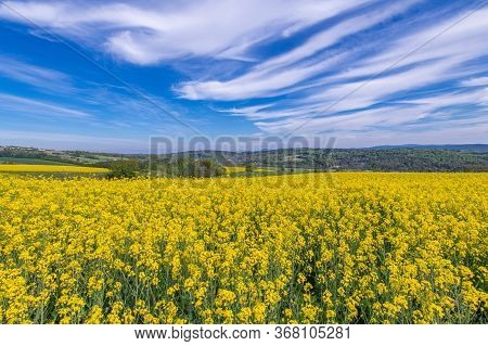 Spring Time Agriculture Theme. Oilseed Rape Field Flowering Yellow Rapeseed Plants. Scenic Countrysi