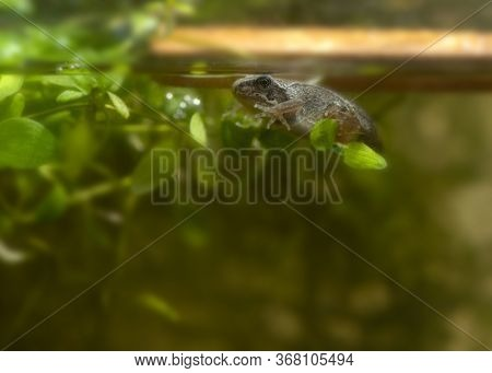 Small Tadpole Of Frog Swimming Near Green Leaves In Clean Water Inside Glass Tank Transitioning