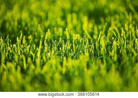 Short Cut Lawn Grass Close Up. Nature Green Background. Gardening Industry.