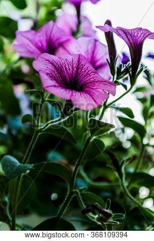 Flowers Purple Petunias. Flowerbeds. Petunia Flowers On Green Background.