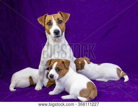 Nursing Jack Russell Terrier With His Puppies On A Purple Bedspread Three Little Puppies Jack Russel