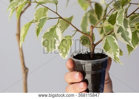 Woman Hand Holding Offshoot Planted In Plastic Container Separated From The Main Tree After Being In