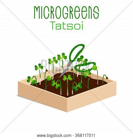 Microgreens Tatsoi. Sprouts In A Bowl. Sprouting Seeds Of A Plant. Vitamin Supplement, Vegan Food.