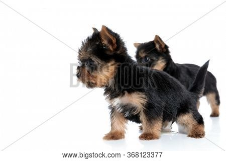 side view of couple of yorkshire terrier looking to side and walking isolated on white background
