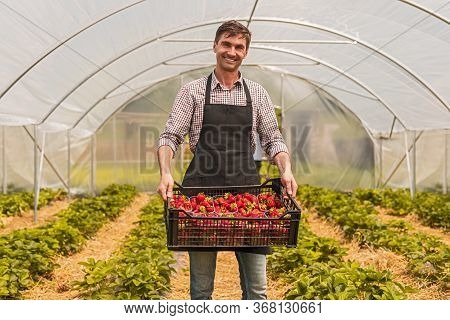 Optimistic Farmer In Apron Smiling For Camera And Carrying Plastic Box With Ripe Strawberries While