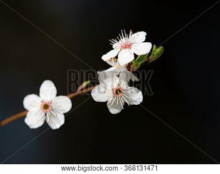 Gentle Flowers Of Plum Tree  Prunus Domestica On Black Blurry Background