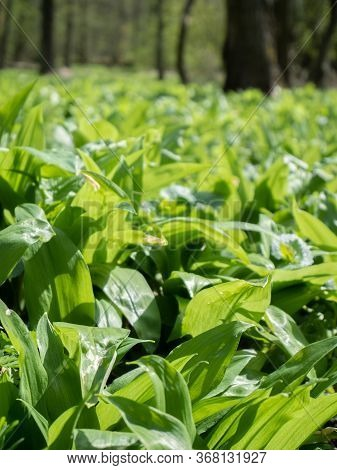 Walk Through Forest With Ground Heavily Cover By Leaves Of Wild Garlic. Popular Herb With Positive E