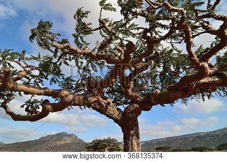 Homhill Plateau. Crown Tree Of Endemic Plant On Socotra Island, Yemen. Africa