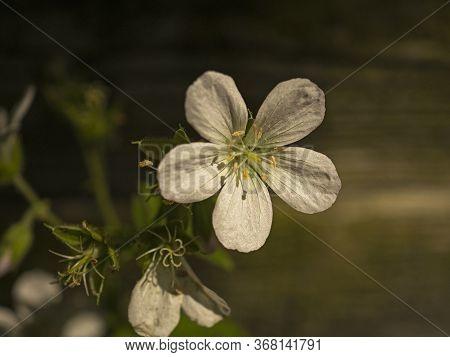 Closeup Of A Little White Cranesbill Geranium Flower In Sunlight Beside A Garden Fence