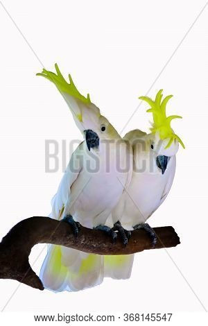 Greater Sulphur-crested Cockatoo  Isolated On White Background