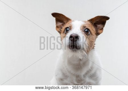 Sweet Dog . Funny Jack Russell Terrier On A White Background. Pet On White Background