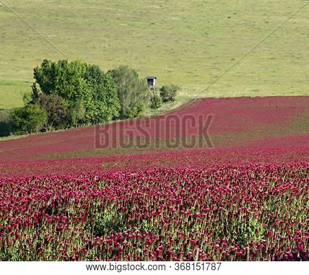 Purple-red Field - Clover Incarnate - Honey Crop For Bees, Colored Fields, Pink Clover, Purple
