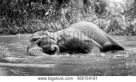 Black And White Image Of Indian Elephant Lying In Small River At Jungle Forest And Washing Itself Wi