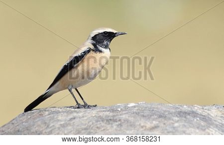 The Desert Wheatear Is A Wheatear, A Small Passerine Bird That Was Formerly Classed As A Member Of T