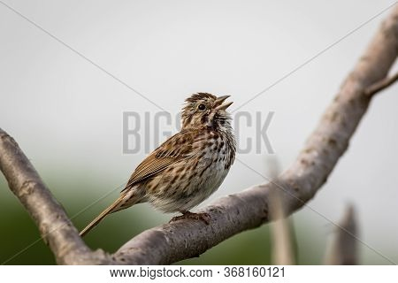 Song Sparrow Singing In Spring Perched On A Branch Clean Neutral Background