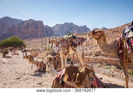 Saddled Camels Wait Standing And Crouching For A Touristic Ride In Petra's Famous Corridor Canyon, I