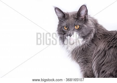 A Pedigree Cat With Beautiful Yellow Eyes Sitting On A White Background And Looking Very Cute With A