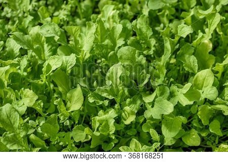A Young, Green Rucola Salad, For Dietary Nutrition.
