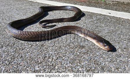 Snake roadkill. Dead snake run over while crossing road