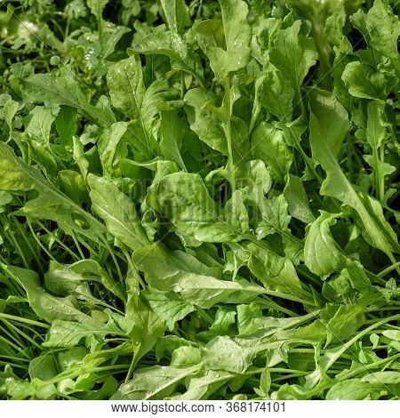 A Young, Green Rucola Salad, For Dietary Nutrition, Growing On The Bed.