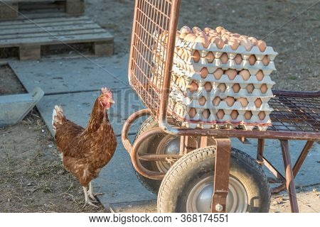 Single Chicken Besides Range Of Brown Fresh Eggs At Farm. Domestic Hen Looking At Rural Agriculture