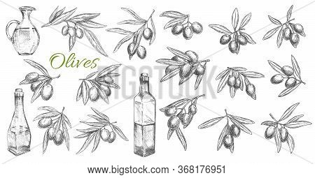 Olives And Oil Bottles Isolated Vector Sketch Icons. Branches, Leaves And Olive Fruits Engraved Symb