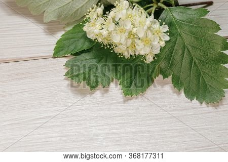 White Inflorescences Of Mountain Ash Sorbus Intermedia Close-up. White Flowers On A Light Wooden Tab