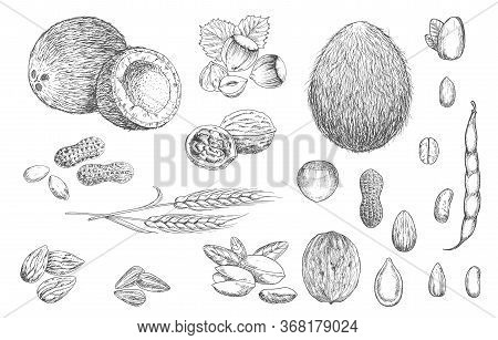 Nuts, Beans And Cereal Seeds Vector Sketches. Coconut, Hazelnut And Peanut, Walnut In Shell, Pistach