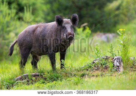 Wild Boar Male With Long White Tusks Looking On Glade With Stumps