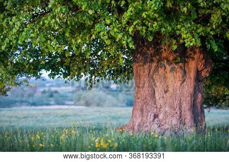 Old linden tree on summer meadow. Large tree crown with lush green foliage and thick trunk glowing by sunset light. Landscape photography