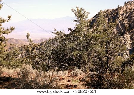 Sage Plants Besides Fallen Pine Cones And Chaparral Shrubs On A Mountain Plateau Overlooking The Col