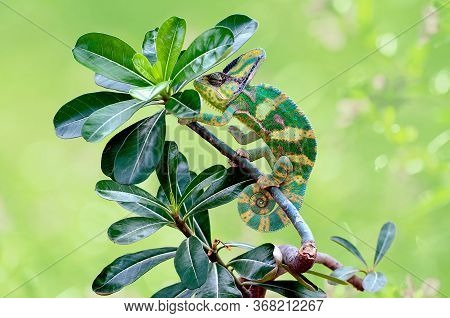 A Chameleon Is At The Top Of A Leaf Stem, Chameleon Veiled In Leaf Stems,