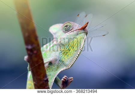 A Chameleon Is At The Top Of A Leaf Stem, Chameleon Veiled In Leaf Stems,