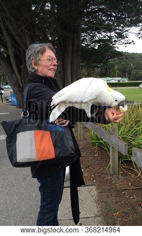 Lorne, Australia - May 24, 2020: Semi Wild Sulphur Crested Cockatoo, Cacatua Galerita, Eating From A