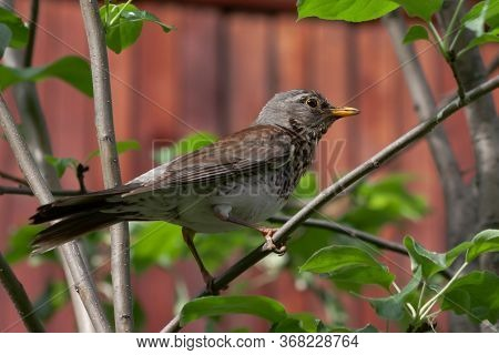 The Fieldfare (turdus Pilaris) Is A Member Of The Thrush Family Turdidae. Close-up
