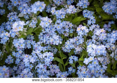 Blooming Forget - Me - Nots Blue Forget-me-nots . Selective Focus