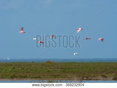 Flight Of Egrets And Spoonbills Over The Gulf Coast  In The Aranasas National Wildlife Refuge In Tex