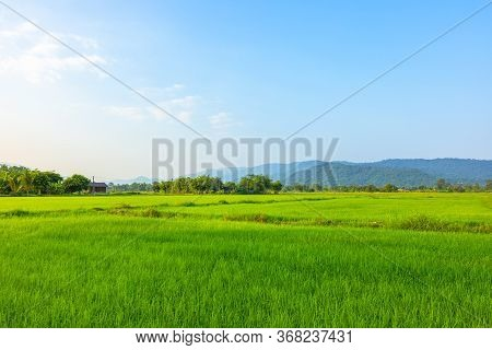 Agriculture Green Rice Field Under Blue Sky And Mountain Back At Contryside. Farm, Growth And Agricu
