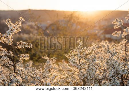 Beautiful Background From Flowering Branches Of Bushes Backlit By The Warm Sun At Sunset. Spring Ful