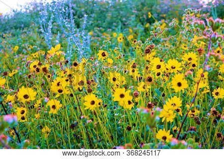 Brittlebush Plants Wildflower Blossoms During Spring On A Rural Field At Chaparral Grasslands Taken