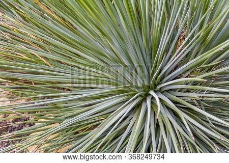 A Full Frame Spiky Agave Plant Closeup