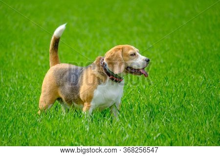 Dog Breed Beagle On The Background Of Young Green Grass. Portrait Of A Beagle On A Green Natural Bac