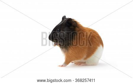 Guinea Pig Cavia Porcellus Is A Popular Household Pet Guinea Pig Licks Paw, Pet Is Washing His Tongu
