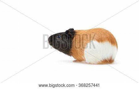 Guinea Pig Cavia Porcellus Is A Popular Household Pet A Young Tricolor Guinea Pig Stands Sideways An
