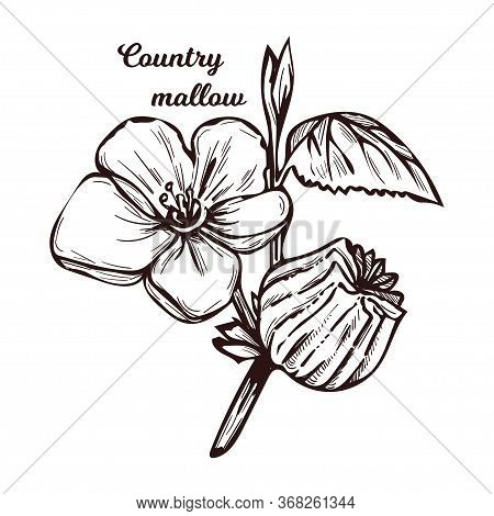 Country Mallow Heartleaf, Silky White Mallow Isolated Vector Illustration. Sida Cordifolia Flannel W