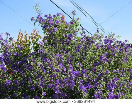 Bright Blue Flowers Of Bougainvillea Shrub In May Sunshine