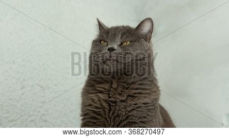 British Funny Expression Face Portrait Animal Photography Concept With Rustic White Gray Background