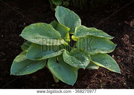 The First Spring Leaves. One Of Many Varieties Of Shade-loving Plants Of The Genus Hosta.
