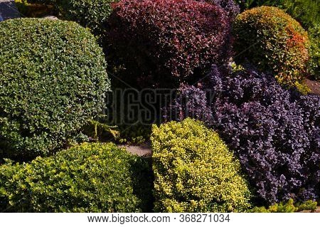 Many Varieties Of Plants Suitable For Forming, Including Barberries. Rockery.