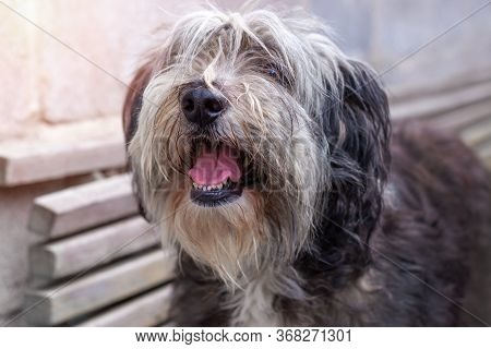Polish Lowland Sheepdog Sitting On A Wooden Bench In The Street And Showing Pink Tongue. Portrait Of